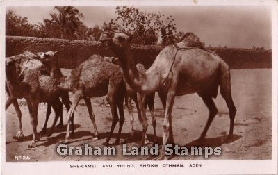 Postcard - She-Camel and Young, Aden - Real Photo